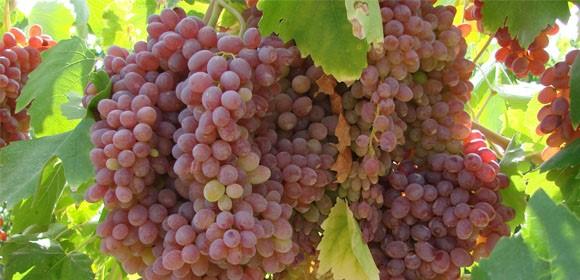 http://bestgrape.ir/images/fullscreen/grapes/AskariGhermezBidane/1.JPG